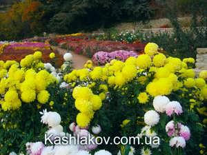 Бал хризантем в Ялте